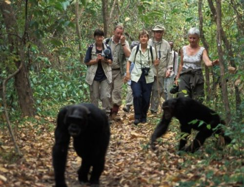 Facts That Make Travellers Want to Track Chimpanzees