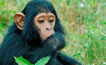 Chimpanzee Trekking Uganda Safari Kibale 3 Days uganda tour
