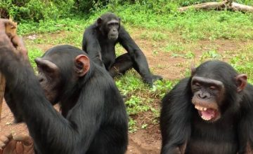 Chimpanzee and Wildlife Safari in Uganda - 4 Days uganda tour