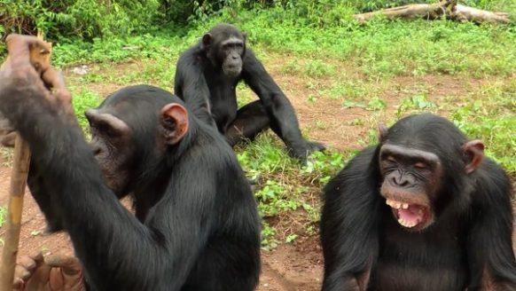 Chimpanzee and Wildlife Safari in Uganda - 4 Days uganda tour