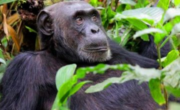 Chimpanzee-trekking-in-Nyungwe-National-park-360x220