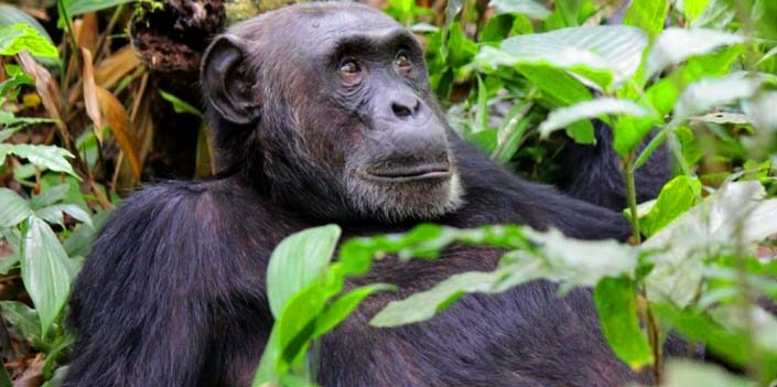 10 Days Group Uganda Gorilla Safari Chimpanzee Trekking & Wildlife Safari in Uganda