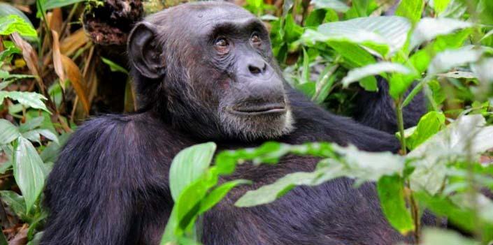 10 Days Group Uganda Gorilla Safari Chimpanzee Trekking & Wildlife Safari in Uganda