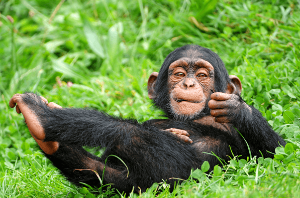 baby Chimpanzee uganda