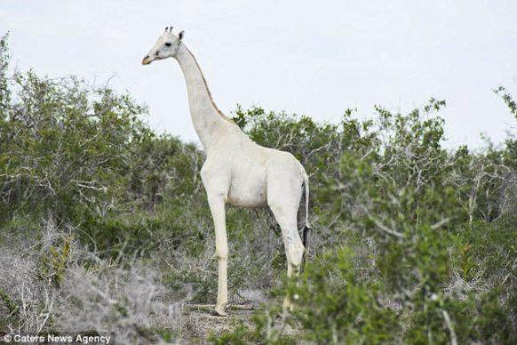 Kenya's Two Rare White Giraffes Killed