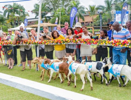 Uganda's Fun Show Event Of The Year; The Royal Ascot Goat Races