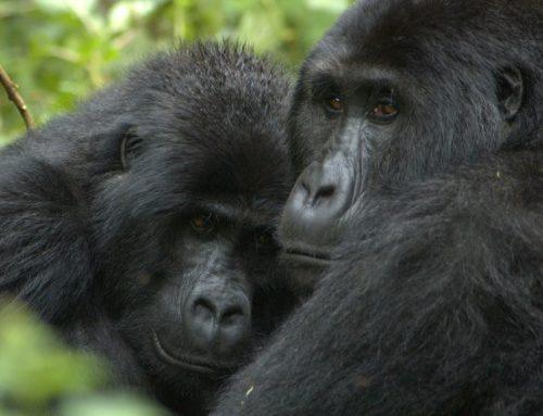 Gorilla Trekking in Congo, Congo Gorilla Safari, Congo Gorilla Tours
