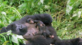 2 Days Uganda Gorilla Trekking in Bwindi From Kigali
