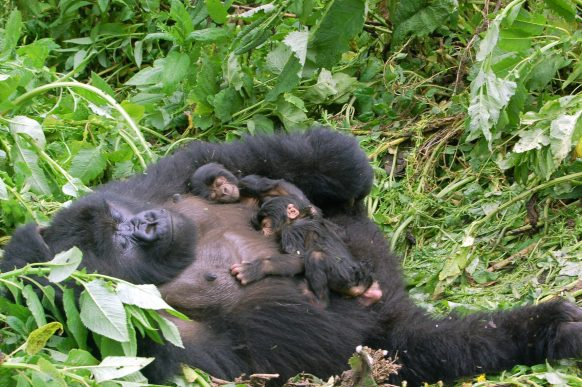 Mountain Gorilla twin birth cases