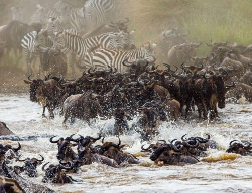 Safari Tanzania & Witness One's of the World's Natural Seven Wonders; The Serengeti Wildebeest Migration