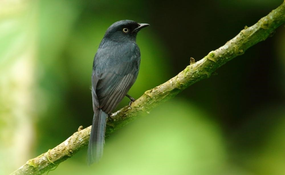 flycatcher_black_yellow-eyed