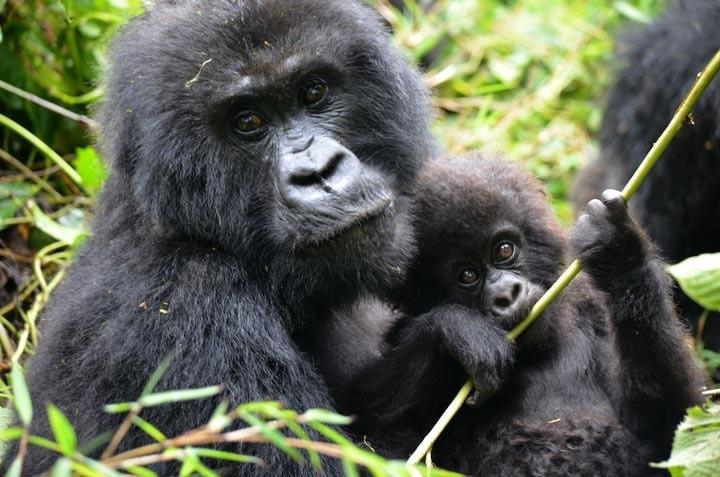 GORILLA safaris -rwanda and uganda