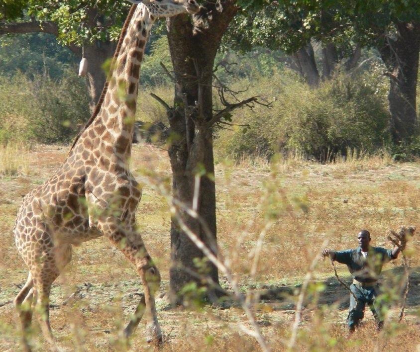 Giraffe- uganda safaris
