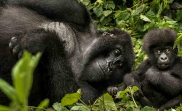 Gorilla, Chimpanzee & Wildlife Safari in Rwanda; 7 Days