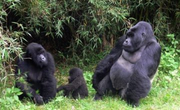 Gorilla Safari in Rwanda; 5 Days
