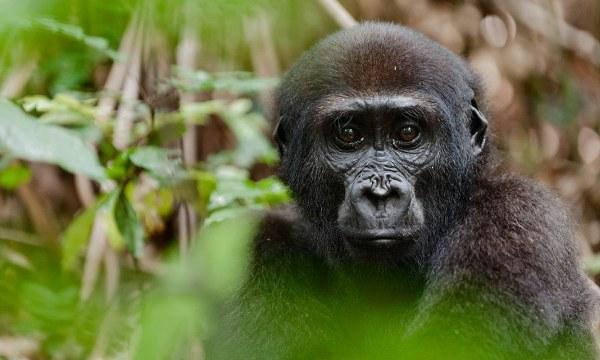 Gorilla Safari in Rwanda; 8 Days