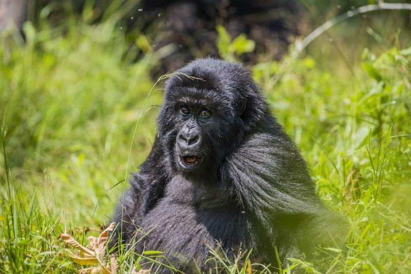 Gorilla Tracking IN MGAHINGA NATIONAL PARK