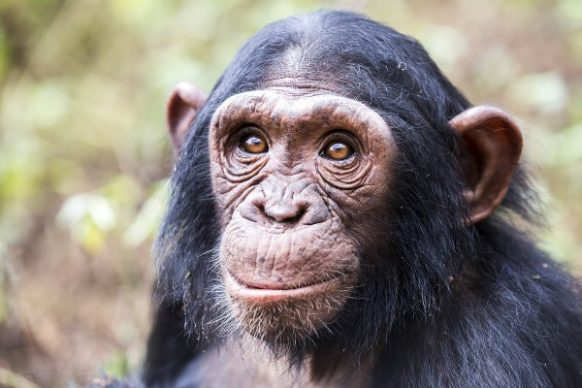3 Days Chimpanzee Trekking Safari