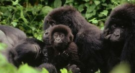 Gorilla Trekking as a Congo Safari Activity in Virunga National Park