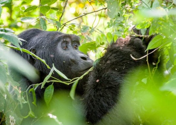 4 Days Uganda Safari, Gorilla Trekking & Wildlife Safari Uganda Tour