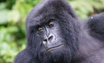 Gorilla safari to Mgahinga Gorilla NP 3 days uganda tours