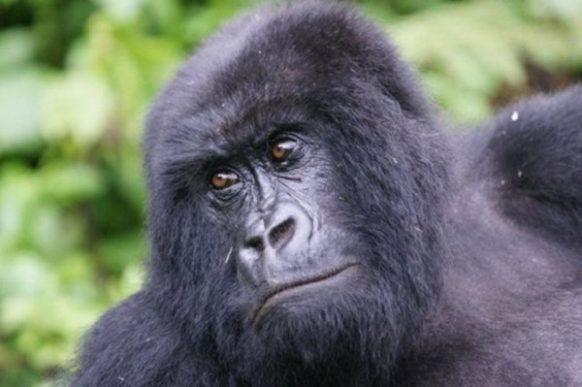 Gorilla safari to Mgahinga Gorilla NP 3 days uganda tours