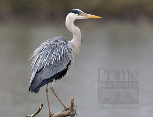 GREY HERON; BIRDS OF UGANDA – UGANDA SAFARI NEWS