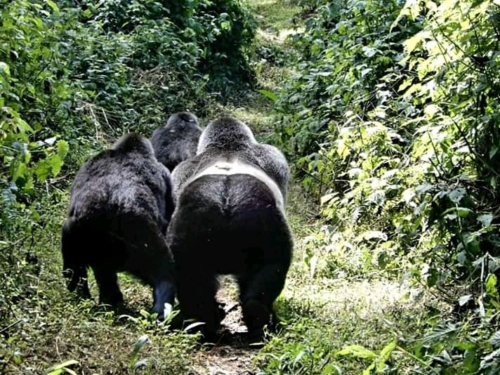 Best Time for a Uganda Gorilla Trekking Safari – Uganda Safari News