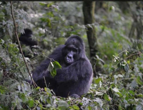 Uganda Mourns One of the Silverbacks in the Oruzogo Gorilla Family – Bwindi