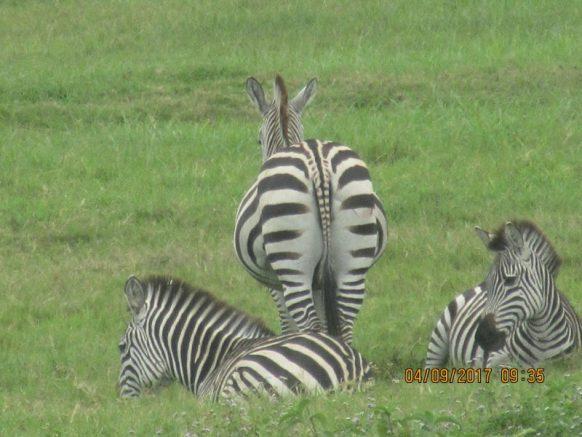 13 Days Flying Tanzania, Uganda Primate & Kenya Wildlife Safari tour