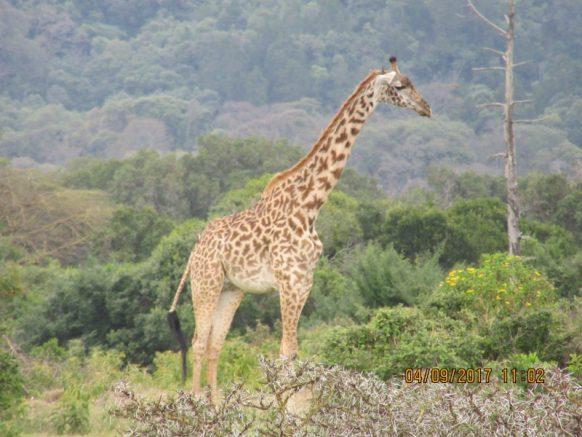 17 Days Uganda, Tanzania & Kenya Gorilla, Wildlife & Mountaineering Safari