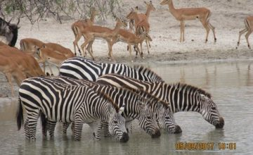 4 Days Kenya Wildlife Safari to Lake Nakuru and Maasai Mara National Park