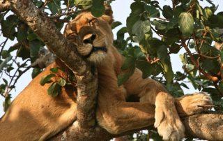 Ishasha in search of tree climbing lions
