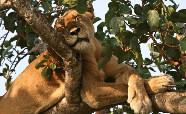 1 Day Uganda Wildlife Safari in Queen Elizabeth National Park- Uganda Safari News