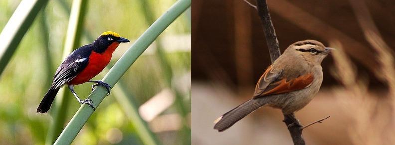 Kibal-birds