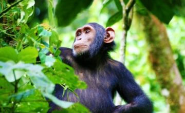 Kibale Forest National Park Chimpanzee Trekking Safari in Uganda 3 days