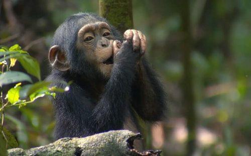 Kyambura Game Reserve Chimpanzee trekking