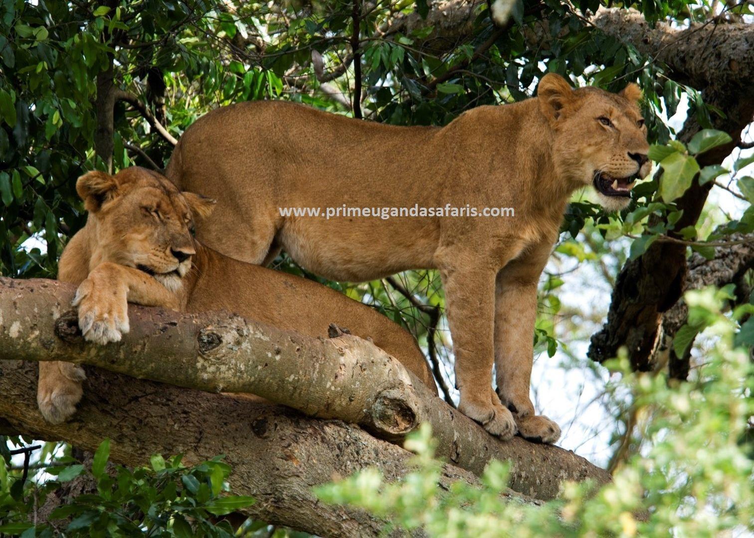 Tree climbing lions at Queen Elizabeth National Park seen on a Uganda safari