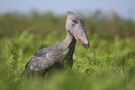23 Uganda birding safari
