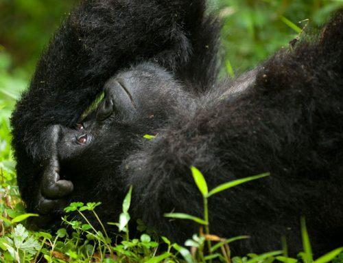 9 Days Uganda safari Gorilla Trekking Chimpanzee & Wildlife Safari