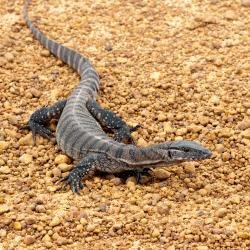 monitor-lizard-uganda-safaris