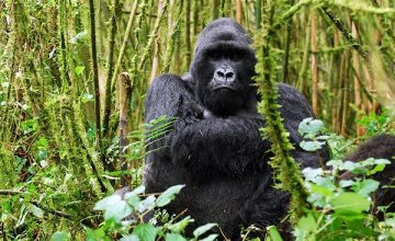 Why are there no Mountain Gorillas in captivity? -Uganda Safari News