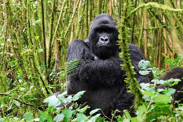 Reasons Why The Uganda Wildlife Authority Increased Its Gorilla Permits!