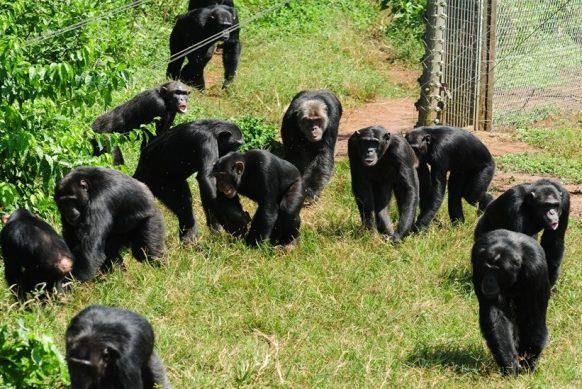 Short Chimpanzee trekking in Uganda Kibale-3 days uganda tour