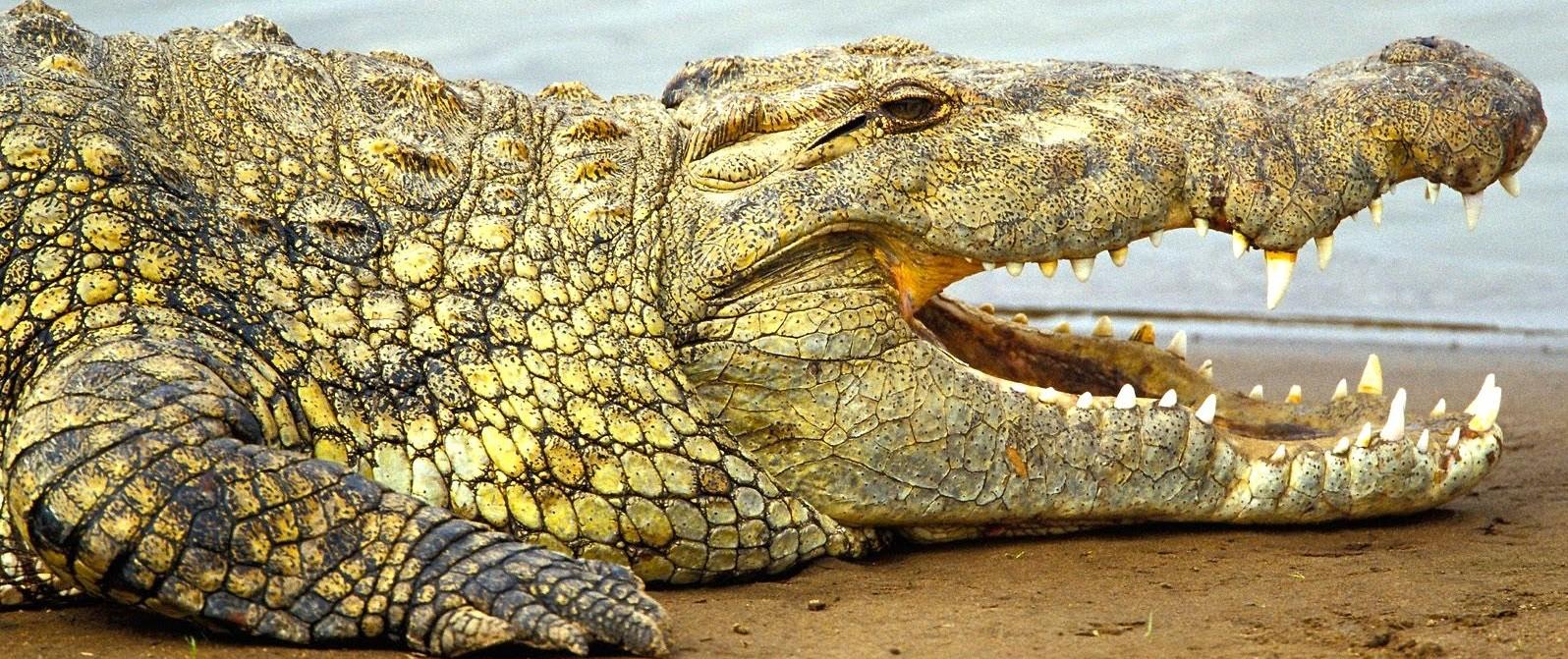 BRIEF FACTS ABOUT NILE CROCODILES – UGANDA SAFARI NEWS - Prime Uganda  Safaris & Tours