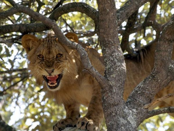 PRIME TREE CLINBING lions