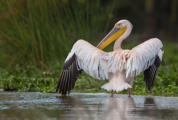 pink-backed-pelican
