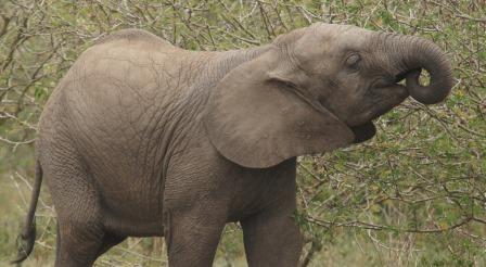 baby elephant at queen Elizabeth np