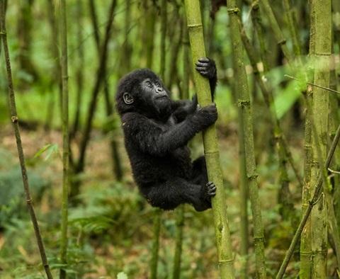 Baby gorilla n rwanda