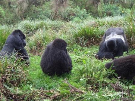 Rwanda's_mountain gorillas
